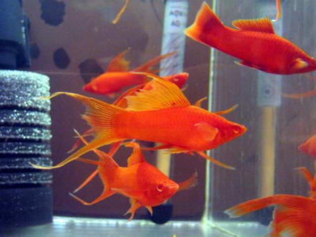 Рыбка Меченосец, настоящее украшение аквариума
