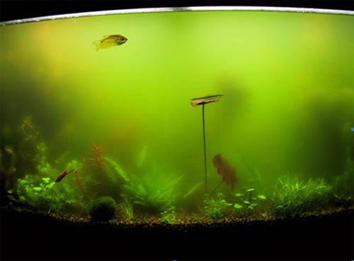 Аквариум, зараженный сине-зелеными водорослями
