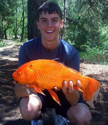 Золотая рыбка гигант