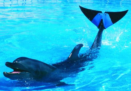 Дельфин Фуджи с протезным плавником