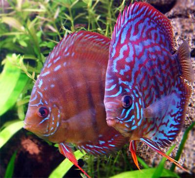 Дисковые рыбы