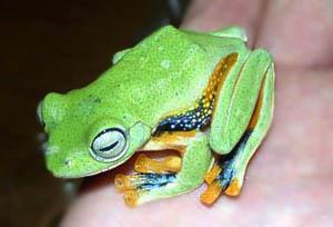 Древесная лягушка веслонога