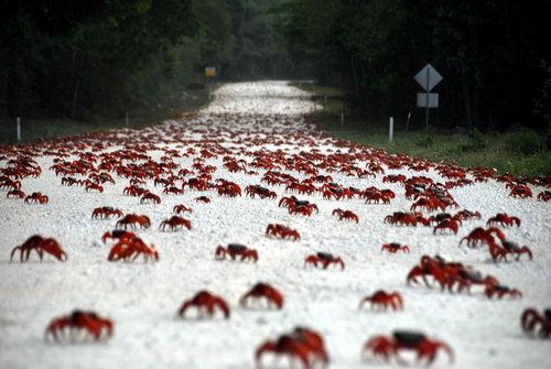 Красные крабы в сезон дождей