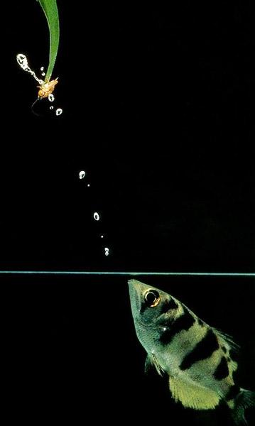 Рыба-брызгун