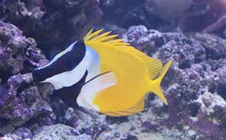 Рыба-лиса